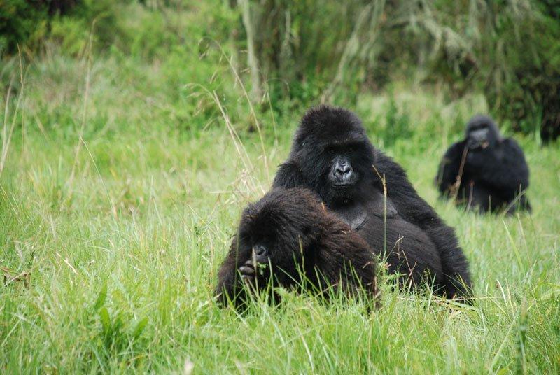 RWANDA – Gorilla Safaris